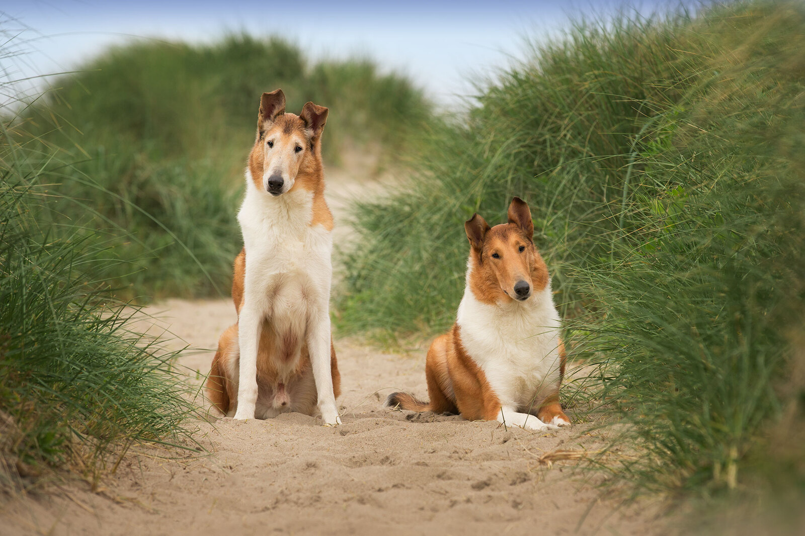 Collies at the beach