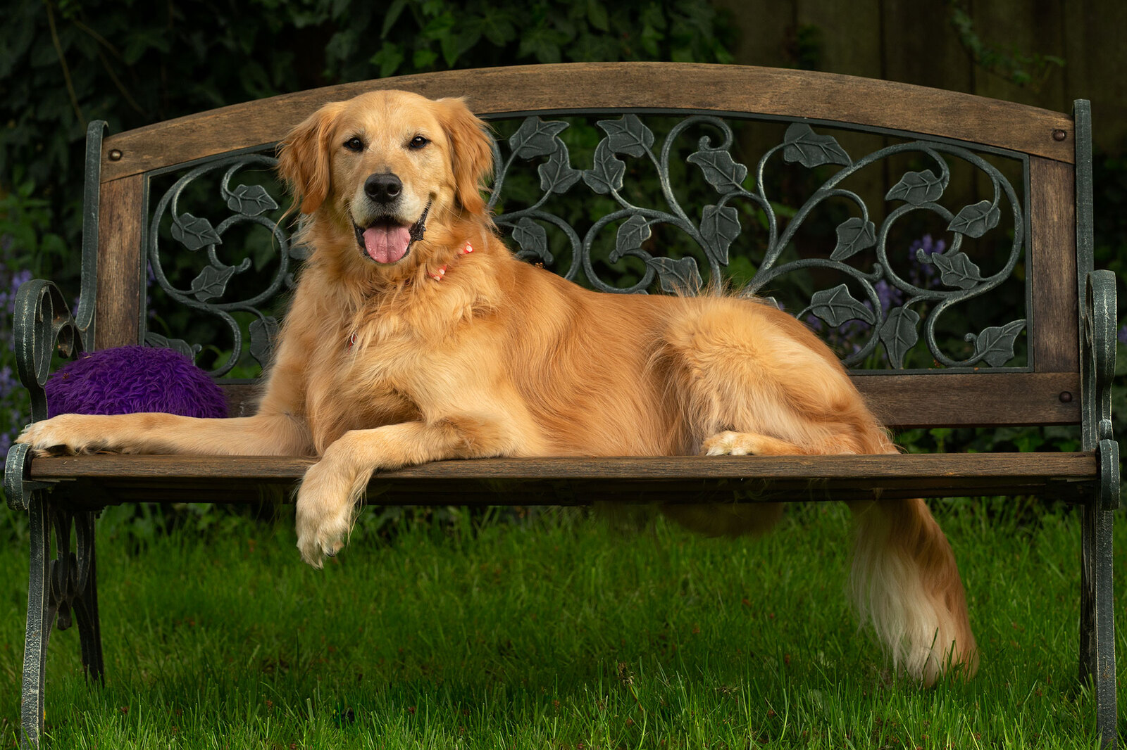 Golden retriever on bench